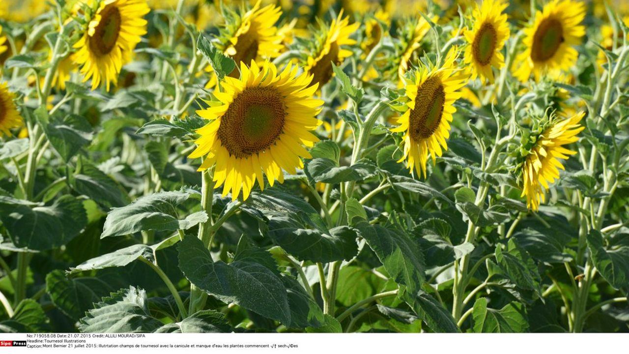 Pour contrecarrer la production massive de semences de tournesol VrTH dans l'Hérault, les 'faucheurs' ont décidé de les contaminer en semant à proximité des plants de tournesol bio.