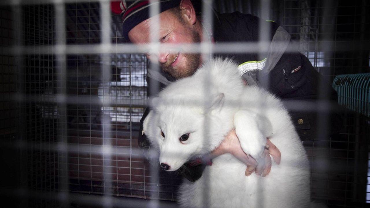 l'élevage d'animaux à fourrure emploie aujourd'hui quelque 500 personnes dans 200 à 250 fermes, pour un chiffre d'affaires annuel de 300millions de couronnes (31millions d'euros) en Norvège.