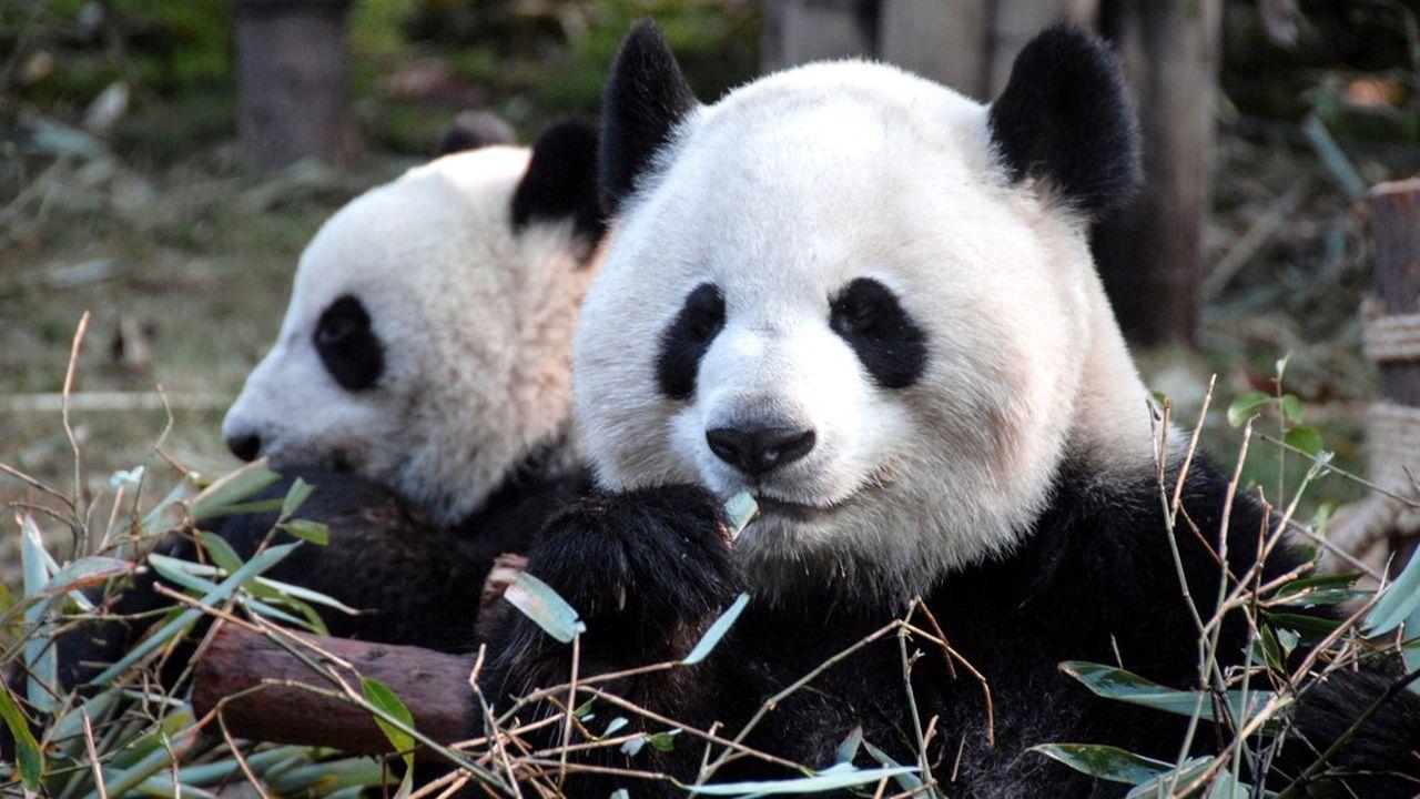 Chine et Japon coopèrent dans l'étude de la reproduction des pandas géants.