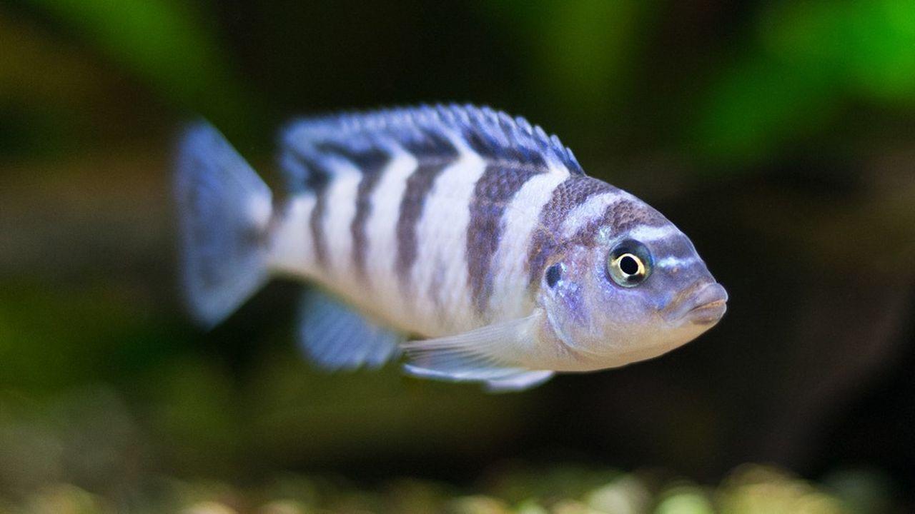 Lecichlidé zébré, un petit poisson tropical monogamme, n'est pas épargné par les chagrins d'amour, c'est prouvé en laboratoire!