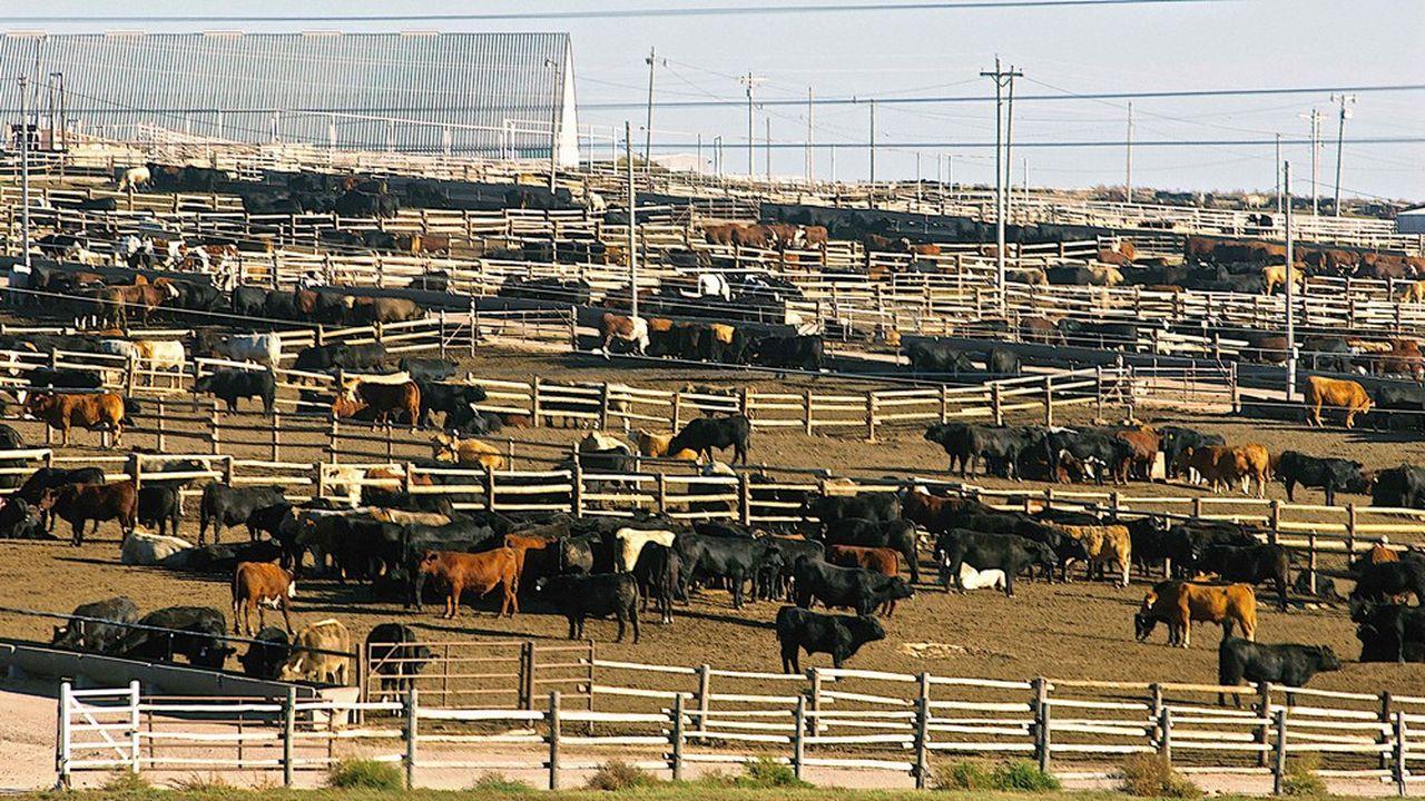 Lesélevages de bovins au Brésil comptent 30.000 têtes, quand en France, un seul a approché le millier de vaches. Un atout de compétitivité.