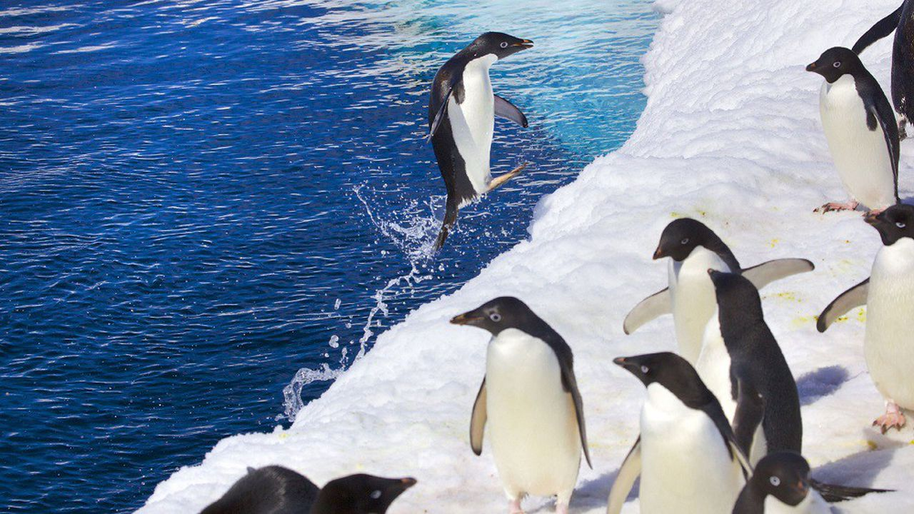 Une colonie de manchots Adéliephotographiés en Antarctique.