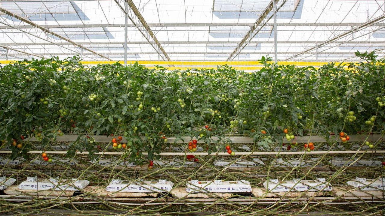 Lacommercialisation, au stade de la production, des tomates avec la qualité biologique est interdite entre le 21décembre et le 30avril, a tranché jeudi le Comité national de l'agriculture biologique (CNAB).