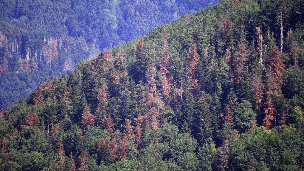 Dans le massif des Vosges, les sapins meurent de soif à cause de la sécheresse.