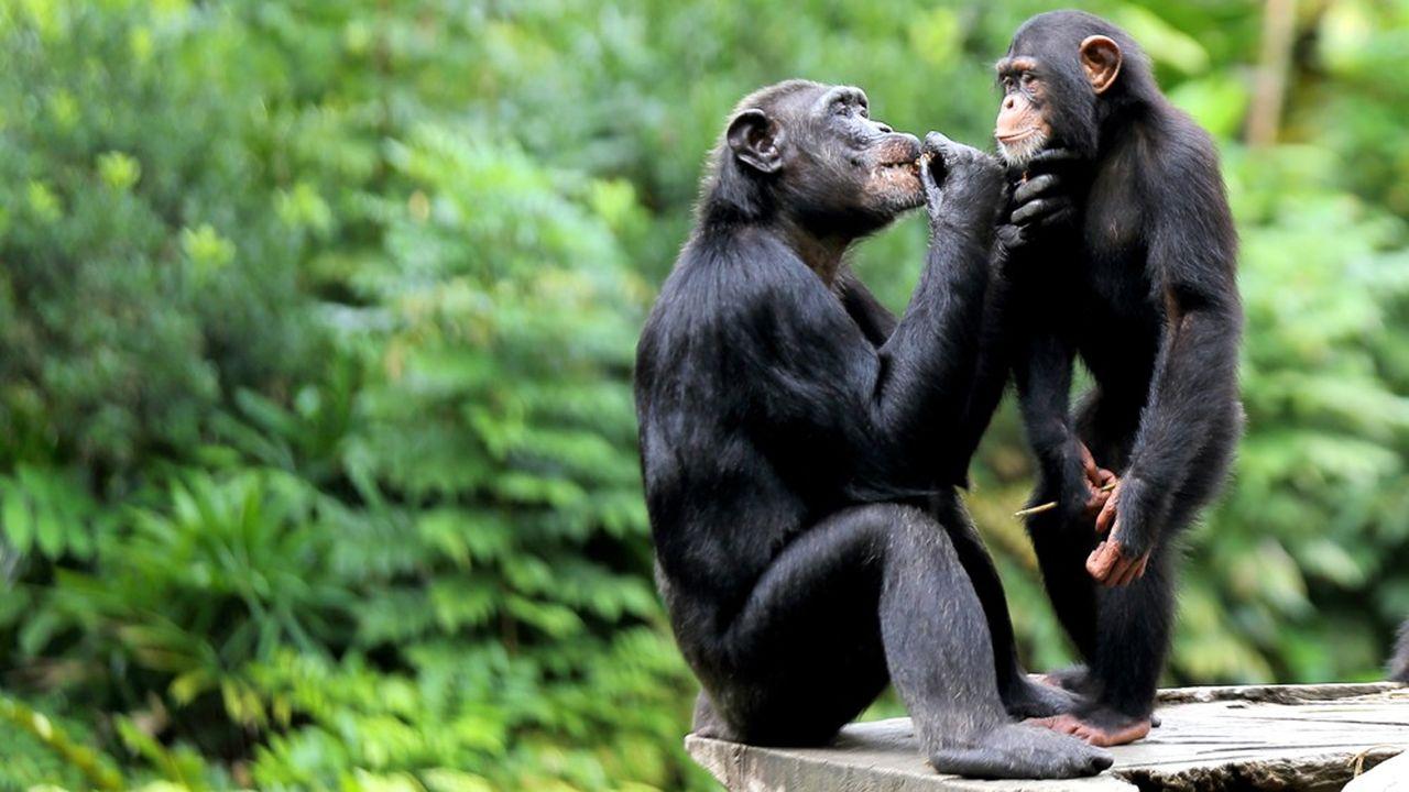Après avoir regardé une vidéo à deux, les chimpanzés auront tendance à être plus proches physiquement de leur partenaire et à rester plus longtemps avec