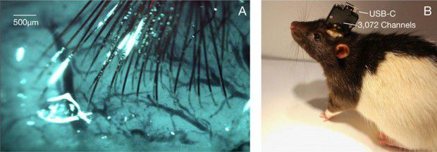 À gauche, des électrodes filaires dans le cerveau d'un animal peuvent enregistrer des neurones. Sur la droite, un rat porte une puce informatique avec une prise USB.