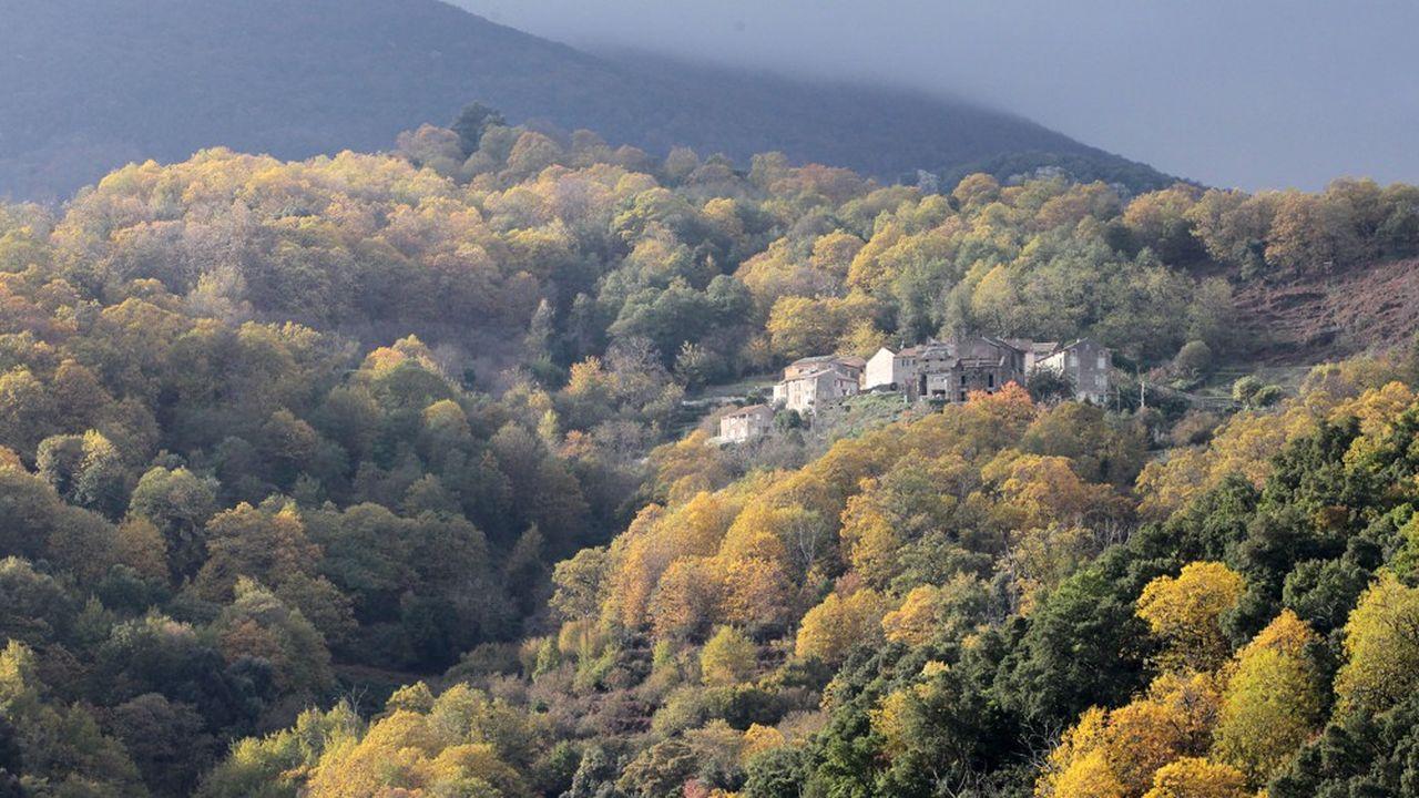 Le verger central de la Corse, qui comptait 30.000 hectares de châtaigneraies, n'en comprend plus qu'un millier.