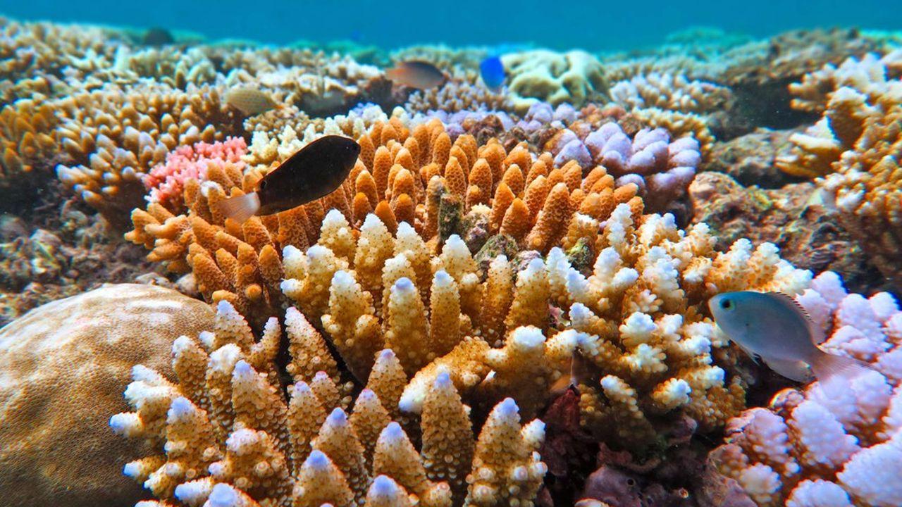 Face à la flambée des températures sous l'eau, les scientifiques mettent en place des systèmes de surveillance des coraux en temps réel, grâce à des satellites et à l'usage de l'intelligence artificielle.