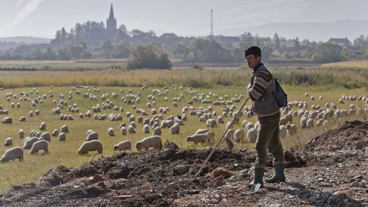 L'élevage d'ovins est un maillon essentiel de l'agriculture roumaine. En 2017, les recettes de ce secteur se chiffraient à 430millions d'euros. Ce marché est aujourd'hui en pleine expansion.