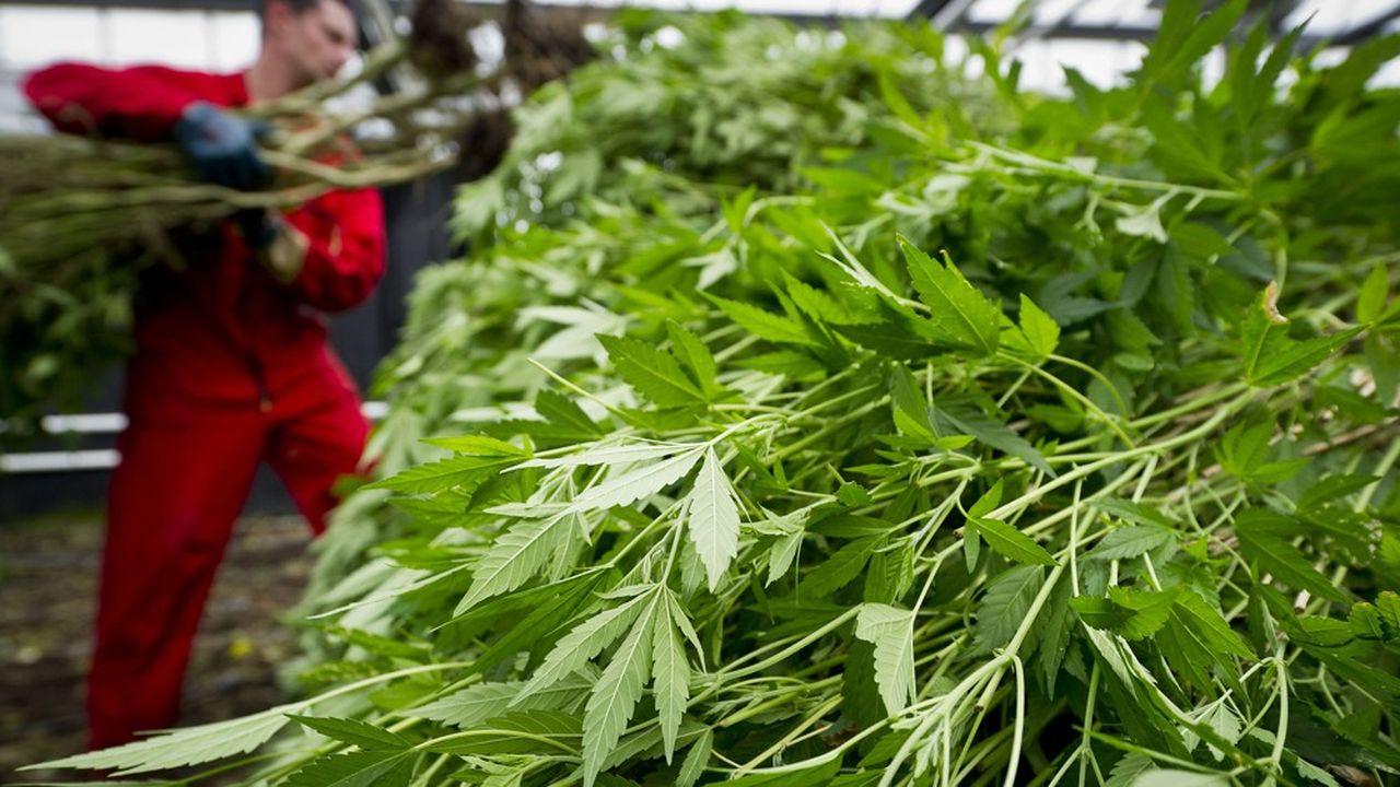 Outre la lutte contre les trafiquants, ce dispositif permettrait à l'Etat de vérifier la qualité du cannabis mis en vente