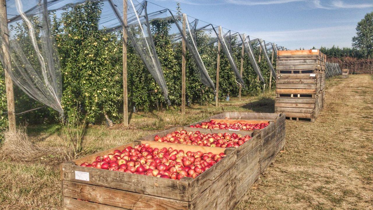 Pour la première fois, la Pink Lady devance la Granny et complète le podium des variétés de pommes les plus produites en France (après la Gala et la Golden).