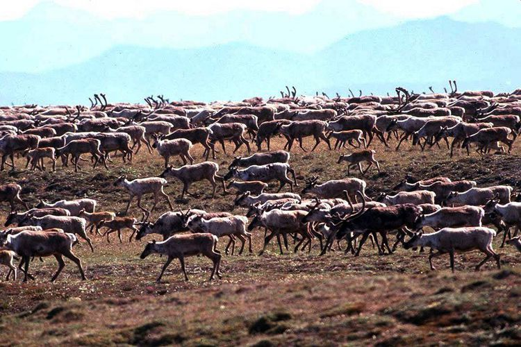 Le Refuge faunique national Arctic est une importante réserve faunique, où vivent notamment des caribous.