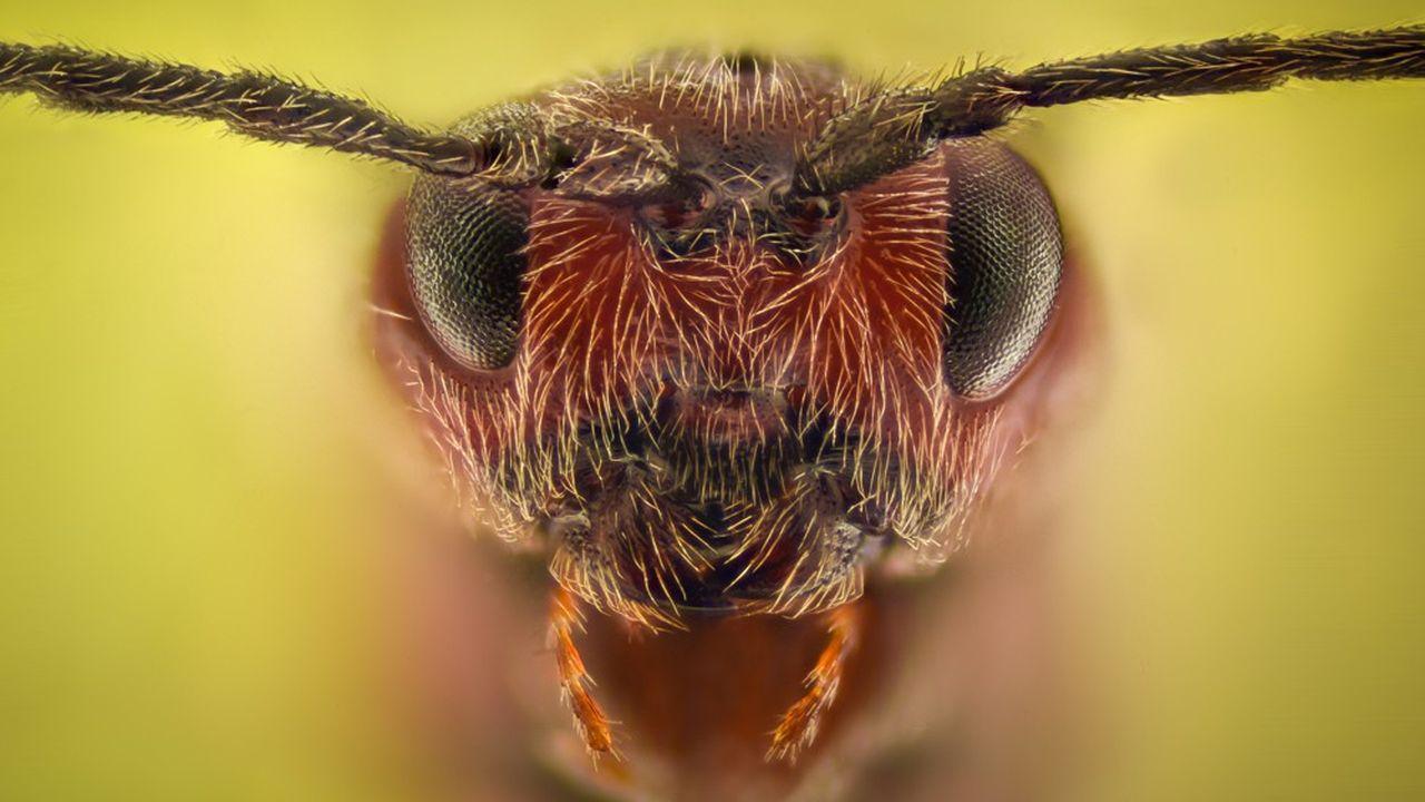 La terrible fourmi de feu coûte, à elle seule, 6milliards de dollars par an aux Etats-Unis.