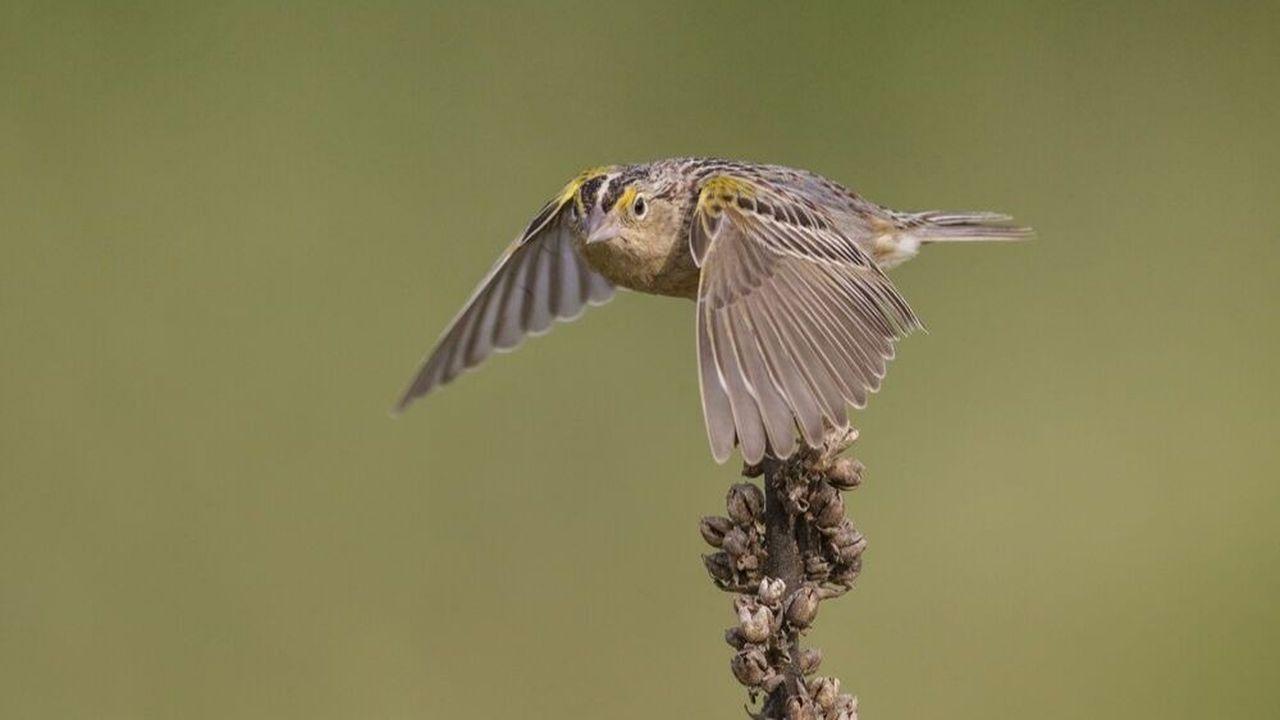 En Amérique du Nord, les moineaux (ici un Grasshopper Sparrow Ammodramus Savannarum) sont l'une des douze familles dont la population a le plus diminué depuis 1970