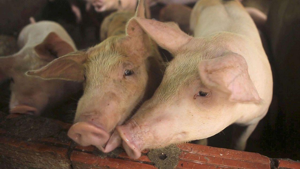 La peste porcine africaine, qui a fait son apparition pour la première fois en Asie en août2018, sévit en Chine depuis plusieurs mois.
