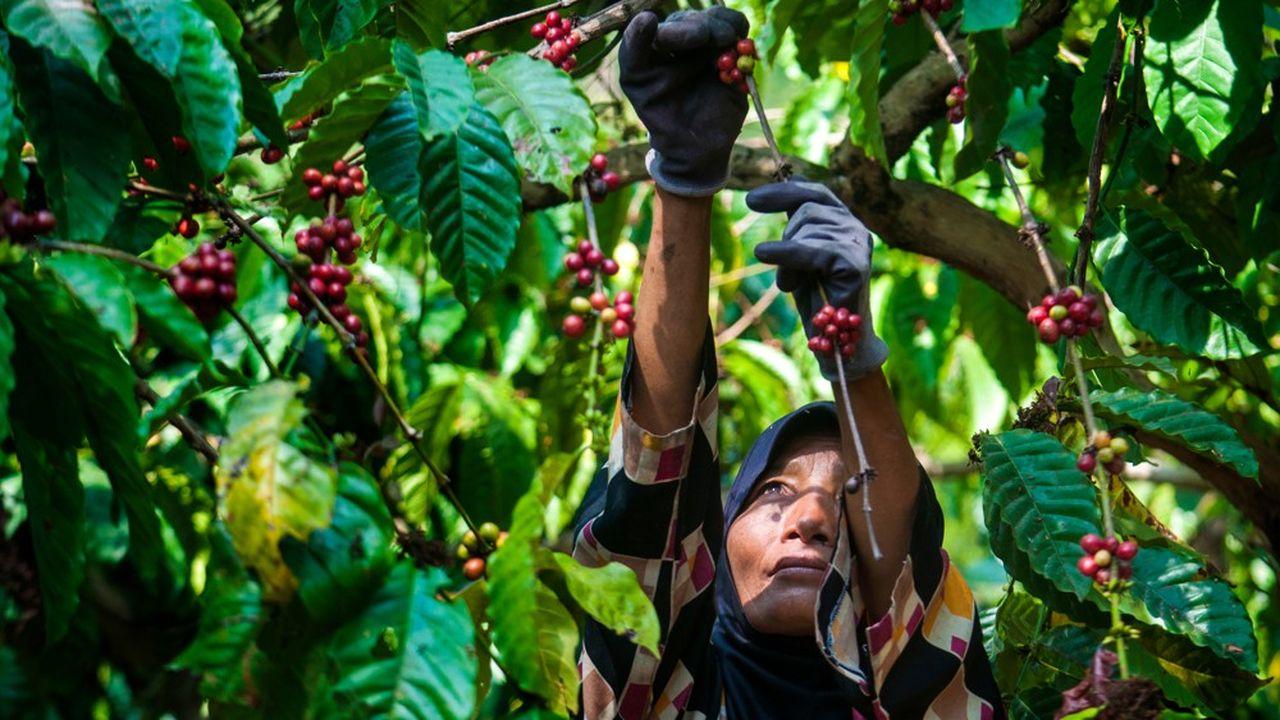 En Indonésie, actuel numéro trois mondial du robusta, l'Association des exportateurs de café pousse les planteurs à produire davantage.