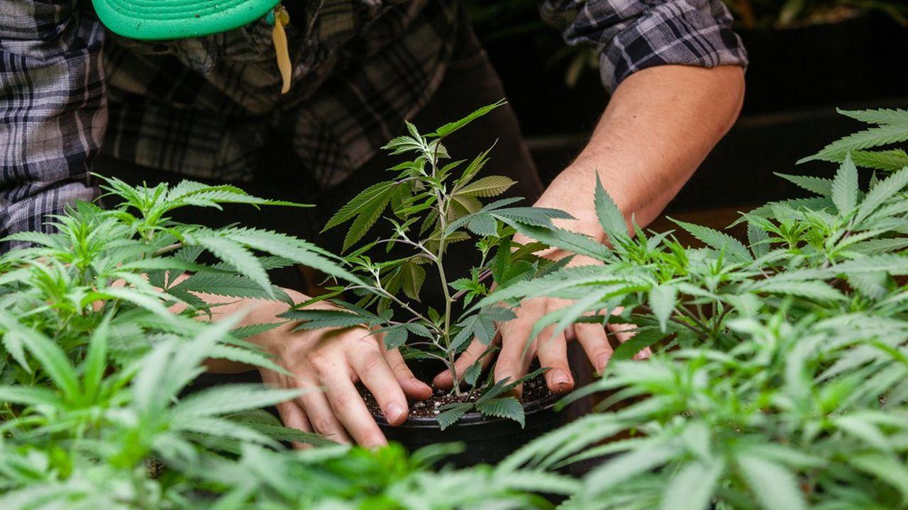 L'expérimentation du cannabis thérapeutique votée en première lecture pourrait concerner 3.000 malades.