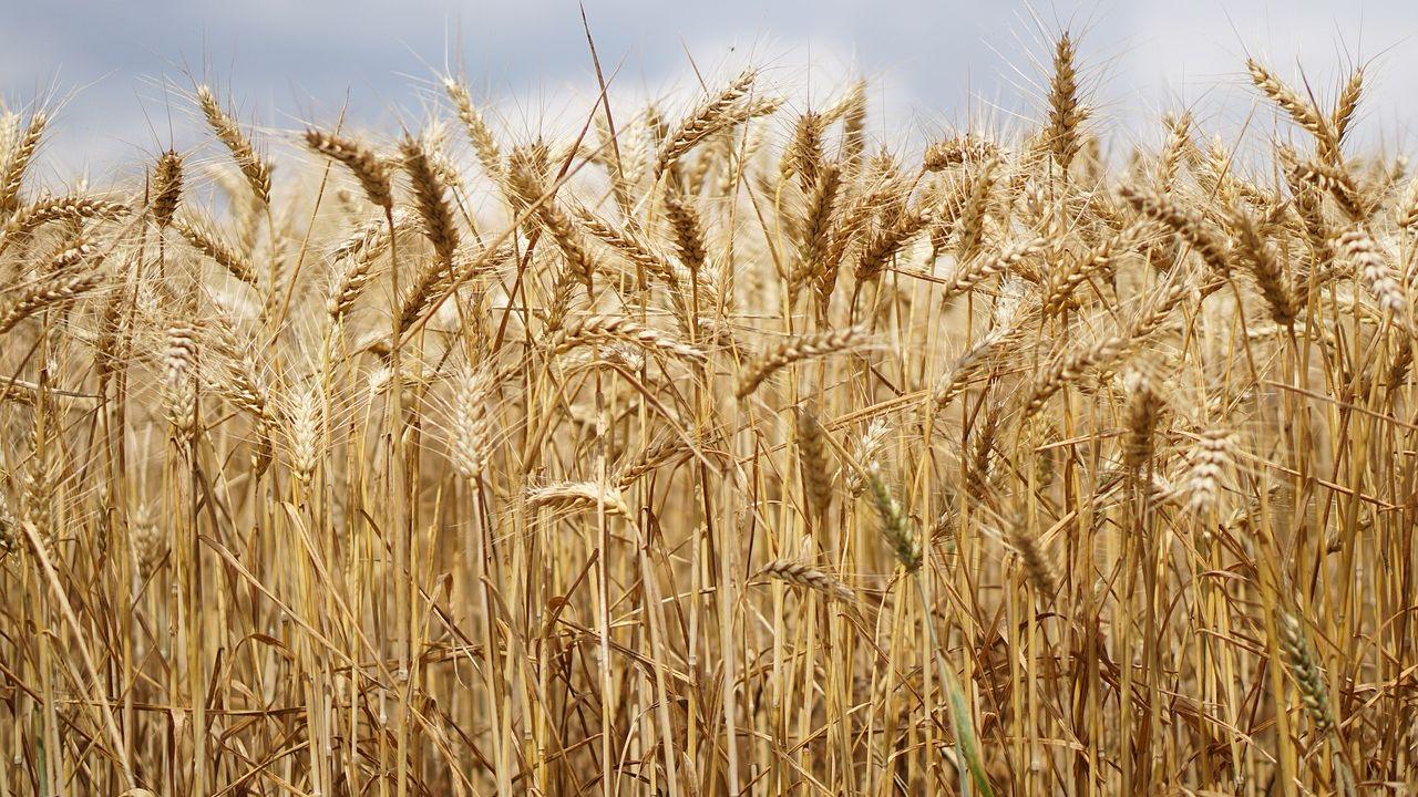 wheat-field-2526669_1280.jpg