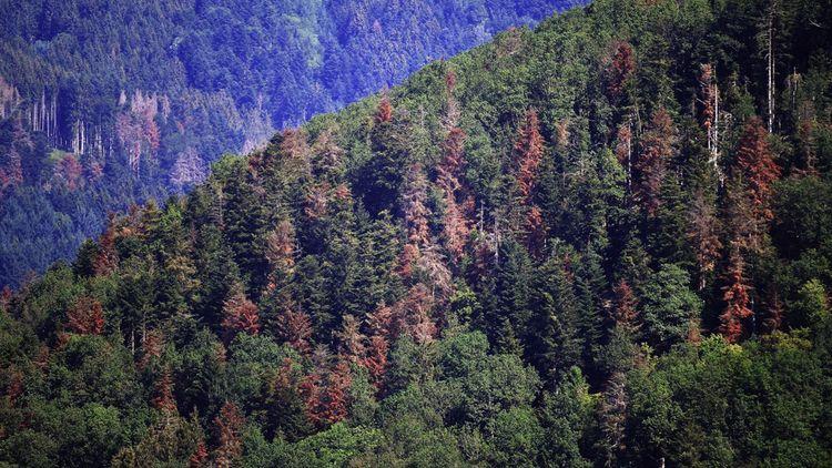 Dans les Vosges, les résineux ne trouvent plus la force de faire remonter leur sève.