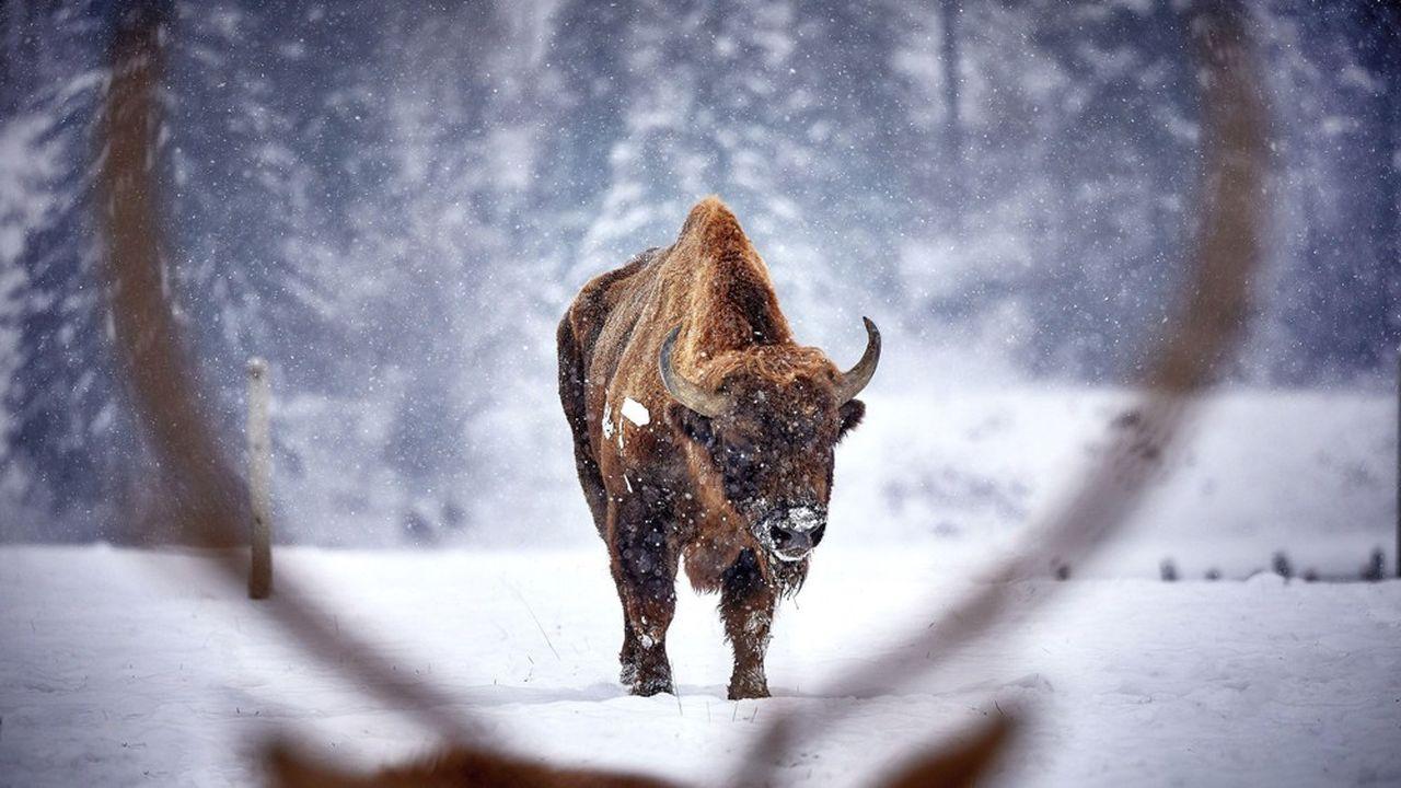 Le «réensauvagement» réside dans la réintroduction de grands mammifères disparus ou menacés, comme le bison.