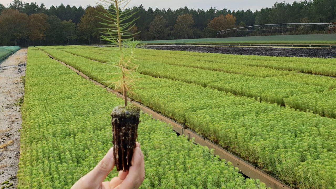 La graine est placée dans un godet en plastique rempli d'un substrat contenant notamment de la tourbe.