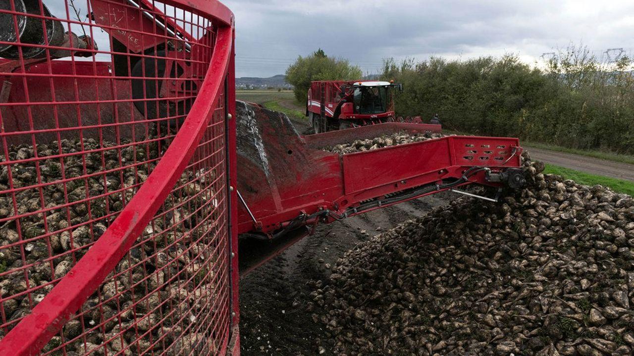 Les planteurs annoncent une récolte de betteraves en baisse. La production de sucre chute de 16 % en 2019, selon la Confédération nationale des planteurs de betteraves (CGB).