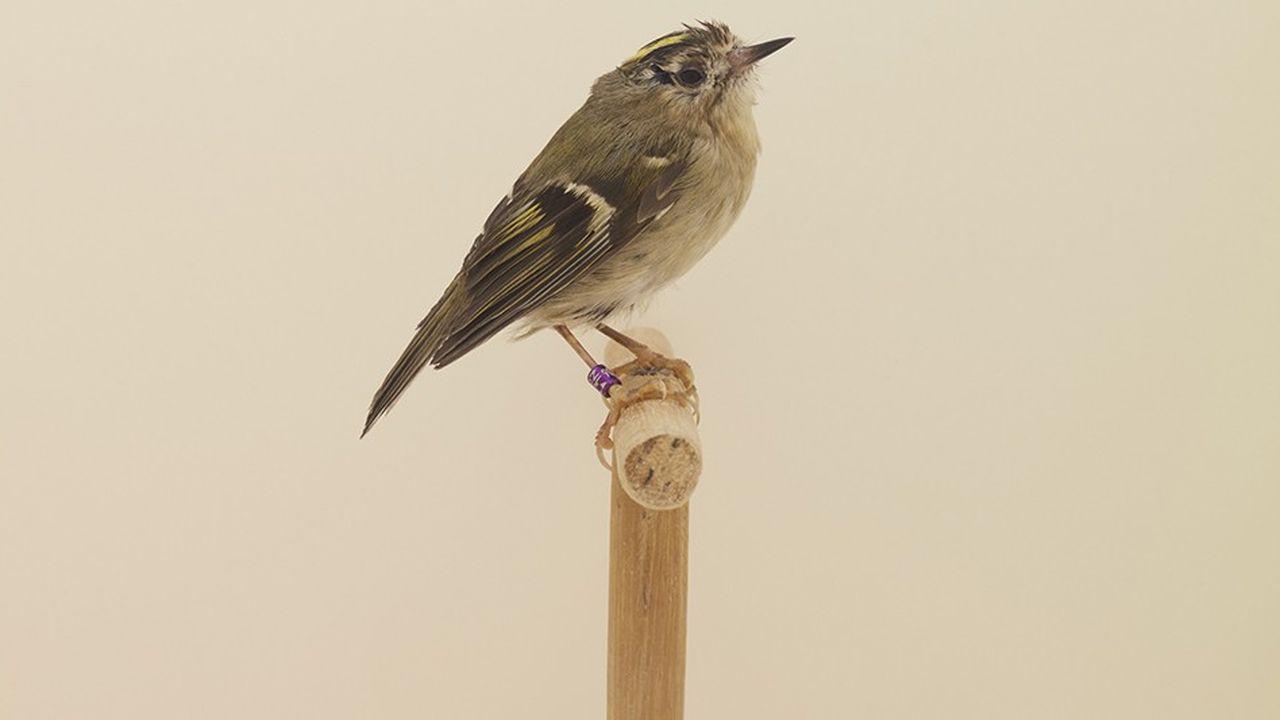 Dans sa dernière série, «An Incomplete Dictionary of Show Birds», le photographe anglais Luke Stephenson tire le portrait d'oiseaux de différentes espèces.