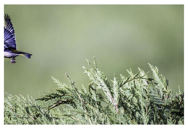 Le verdier niche et nidifie dans des petits arbres ou arbustes touffus.