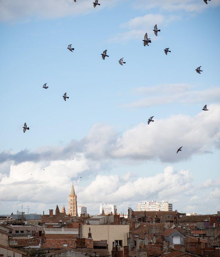 Comme à Toulouse, les villes voient prospérer pigeons et corneilles au détriment des moineaux.