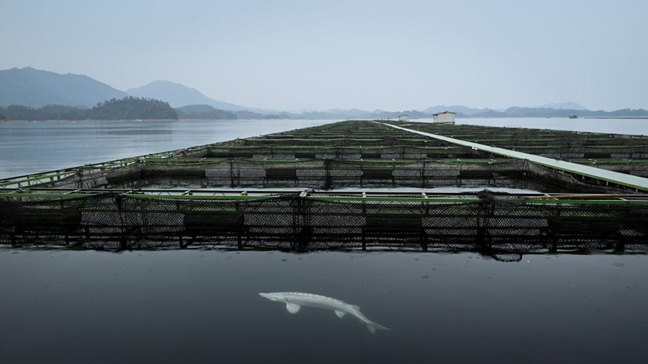 Un esturgeon dans un bassin aquacole de Kaluga Queen sur le lac Qiandao. Les femelles sont élevées ici durant sept à quinze ans avant que ne soient prélevés leurs précieux oeufs.