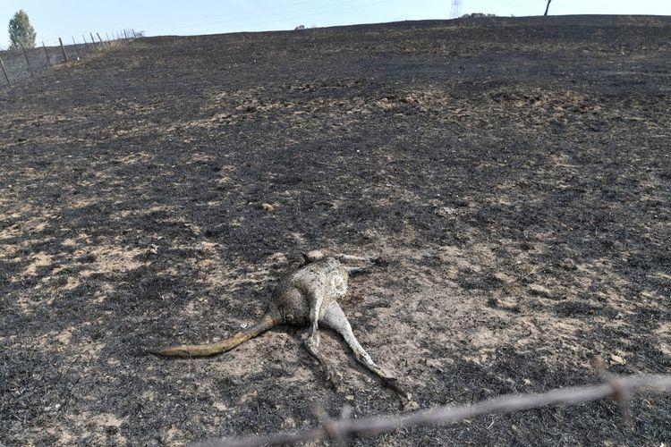 Photo prise le 8janvier montrant un kangourou mort près d'une ferme après un incendie à Batlow, en Australie.