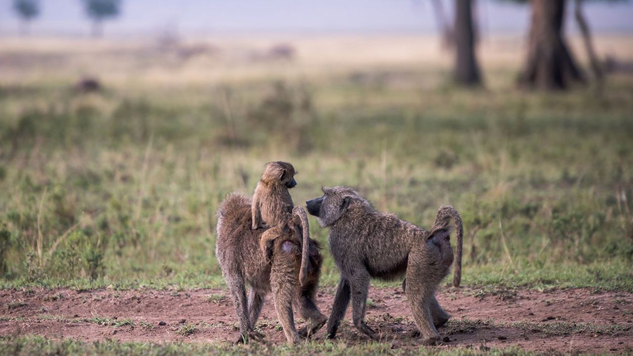 Contrairement à ce qu'on a longtemps pensé, aucun verrou anatomique n'empêche les singes de produire des sons similaires aux voyelles humaines, faculté à la base de toute parole. Les babouins (photo) s'en servent pour produire cinq cris distincts, tous dotés d'une signification.