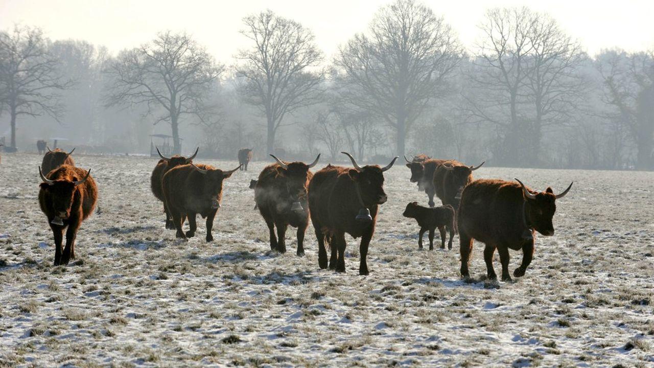 La filière bovine est importatrice à 60% pour servir la restauration hors domicile quand la France élève des races à viande excellentes (ici, la Salers).
