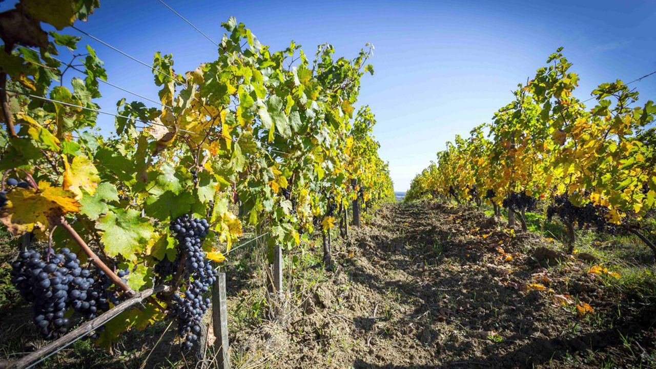 Plus de la moitié (56%) des régions viticoles du monde pourraient disparaître avec un réchauffement de 2 degrés, et 85% avec un réchauffement de 4 degrés, selon une étude parue dans la revue«Proceedings of the National Academy of Sciences».