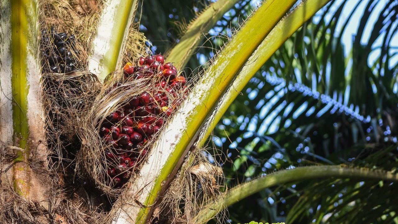 Un palmier en Malaisie.