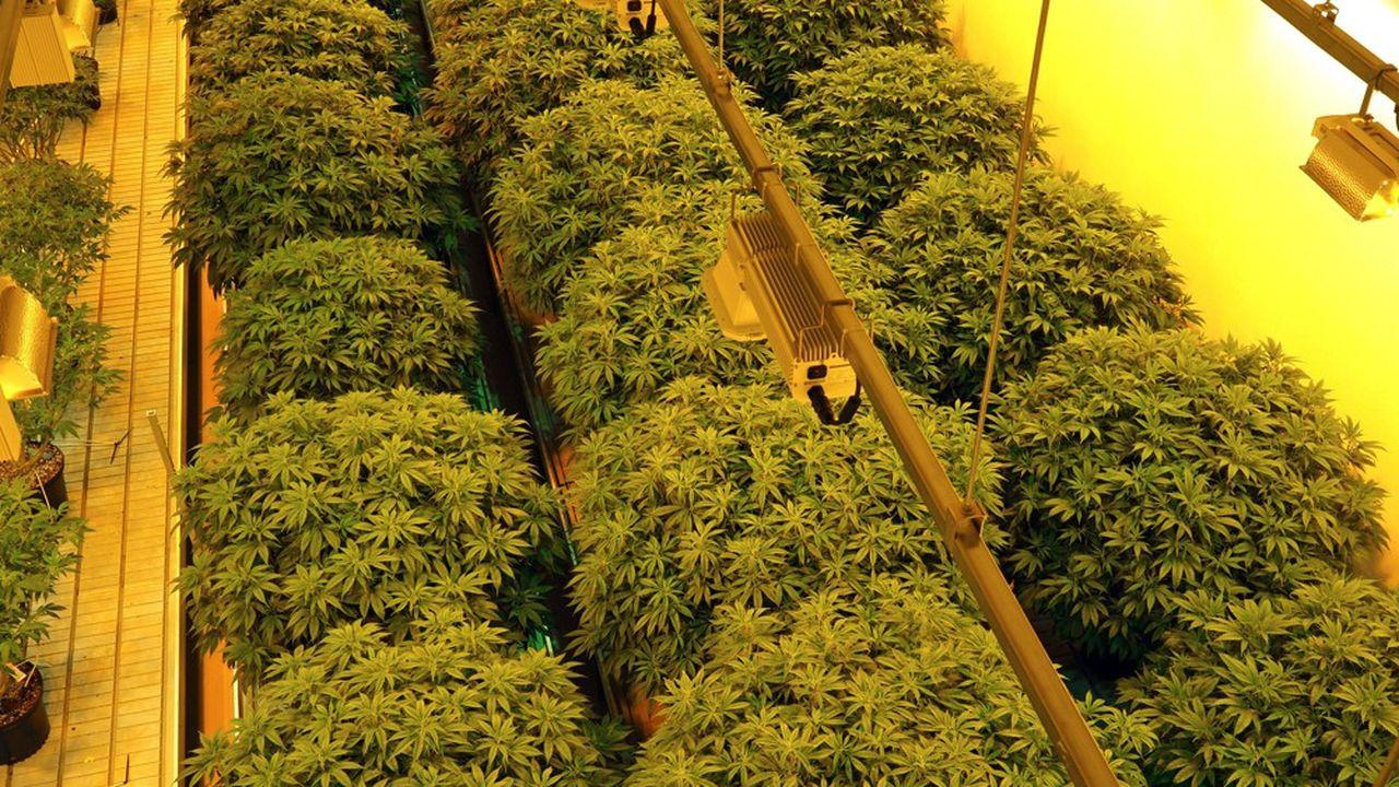 Le marché du cannabis est notamment pénalisé par la surproduction, la chute des prix et un réseau de distribution qui reste à faire