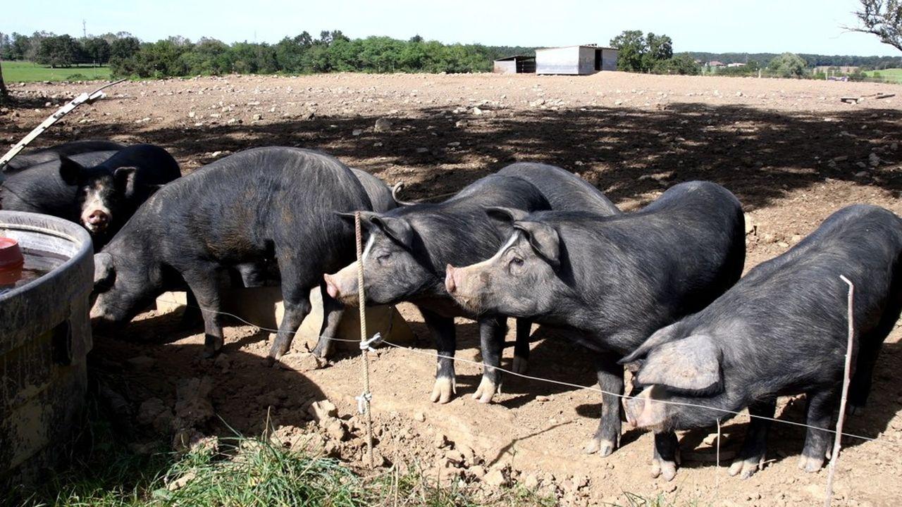 Le taux de mortalité de 20 % dans l'élevage dû aux maladies infectieuses pose la question de l'approvisionnement futur en protéine animale.