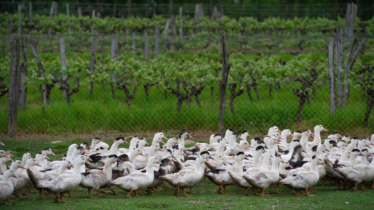 Les ventes de foie gras ont plongé de -10% sur l'année 2019, de -44% sur le seul mois d'octobre et de -32% en novembre, argue le Comité interprofessionnel des palmipèdes à foie gras.