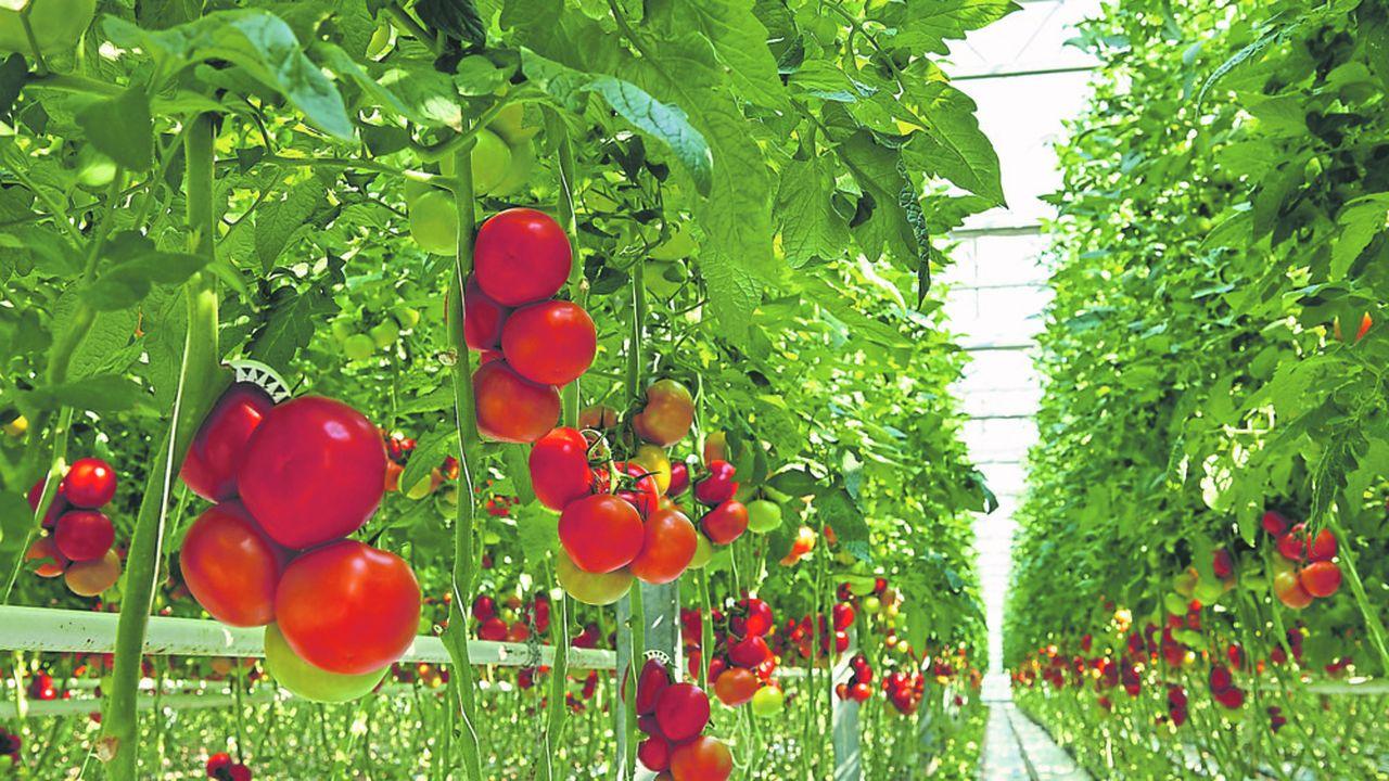 Le virus «Tomato brown rugose fruit virus» (ToBRFV), extrêmement virulent dans les cultures sous serre mais jusque là inconnu en France, inoffensif pour l'homme, a très vraisemblablement contaminé des tomates sous serre dans le Finistère
