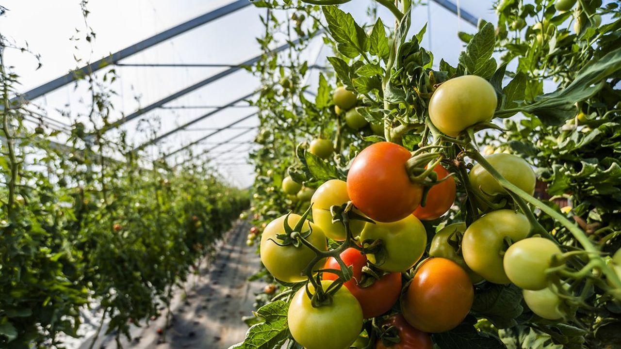 Ce sont des plants importés du Royaume-Uni eux-mêmes issus de semences néerlandaises qui sont à l'origine du problème. Le virus jusque là inconnu en France a sévi ou sévit encore dans tous les pays voisins de l'hexagone.