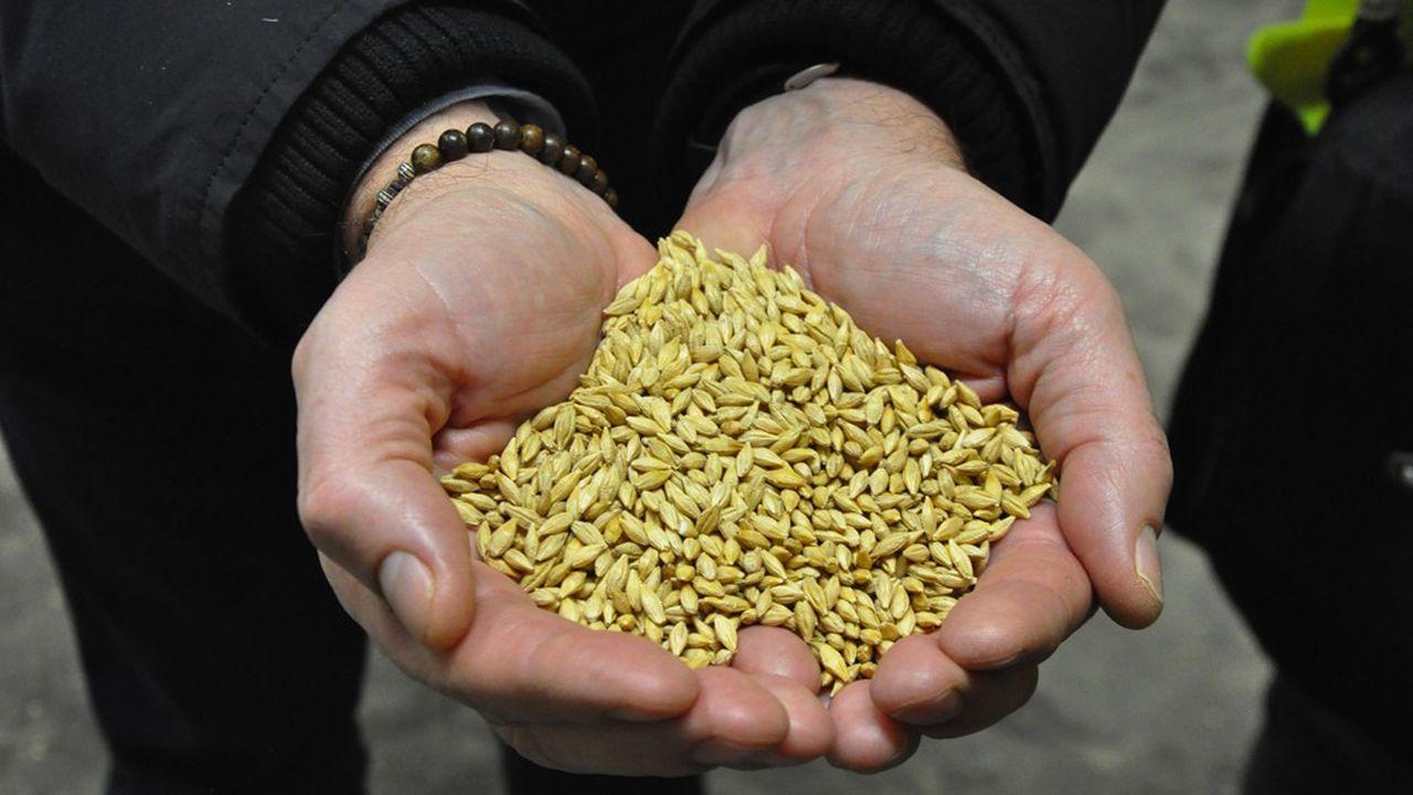 Les semenciers innovent pour créer des plantes plus résistantes aux maladies et au réchauffement climatique. Ici, semence d'orge de RAGT Semences.
