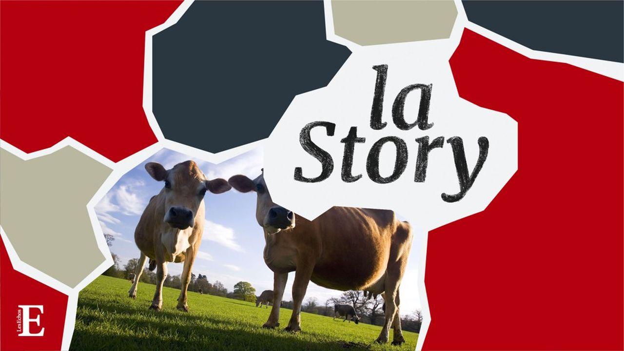 Un élevage britannique de vaches Jersiaises, une race bovine anglo-normande.