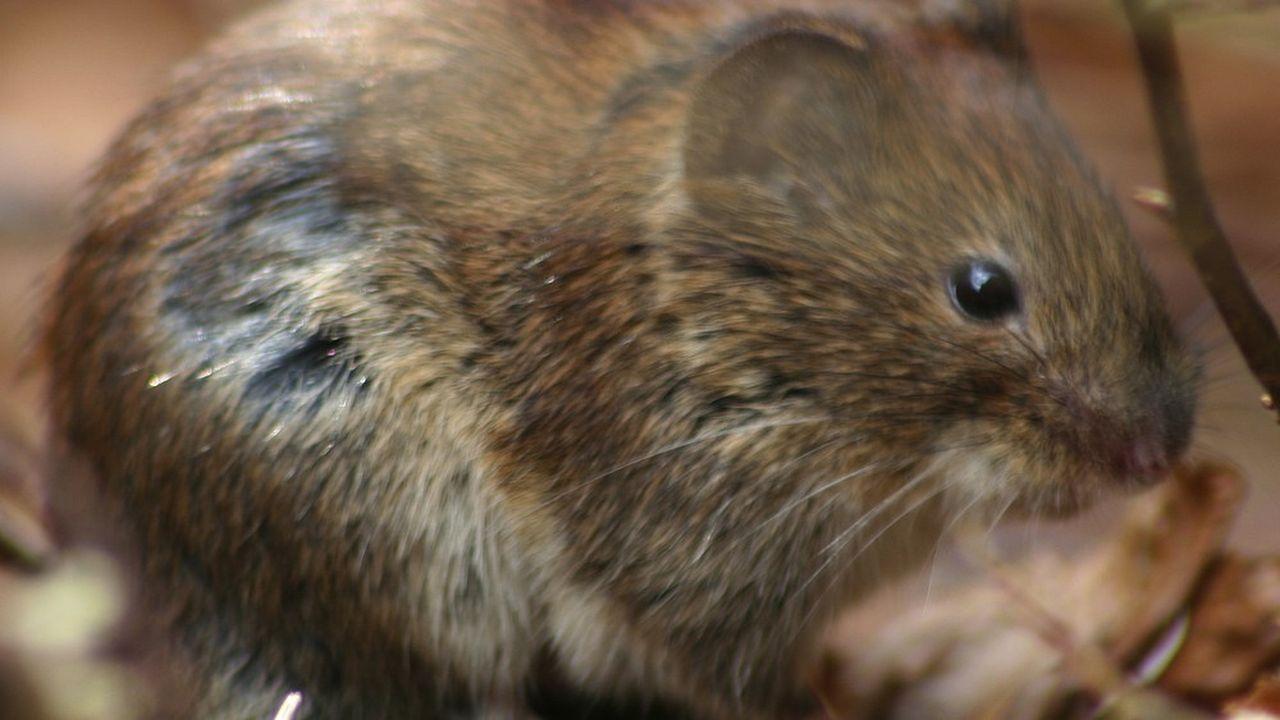 Nuisible aux cultures, le campagnol est un rat taupier qui peut dévorer l'équivalent de 80% de son poids en végétaux par jour.