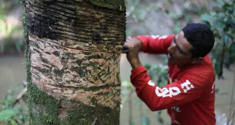 Le caoutchouc est récolté en Amazonie, via une association de producteurs, à partir d'hévéas sauvages.