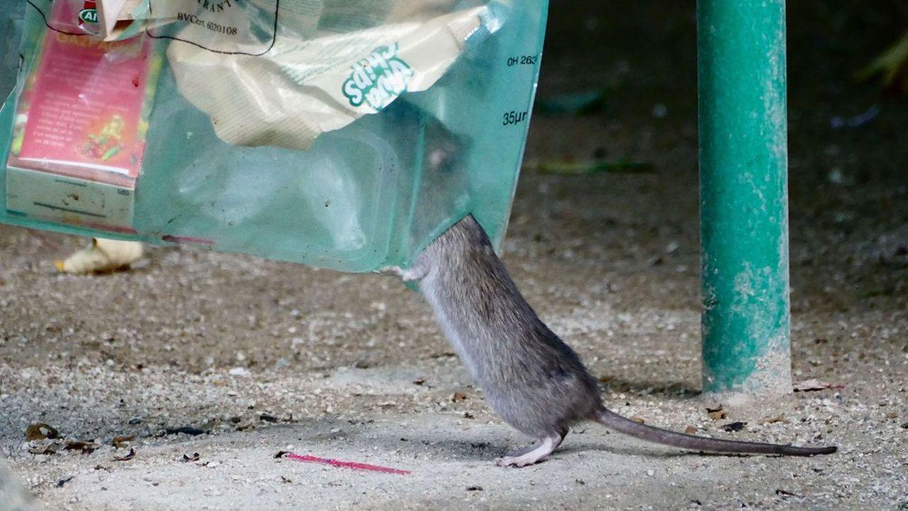 Des produits chimiques ont été utilisés pour créer des barrières et isoler les rats