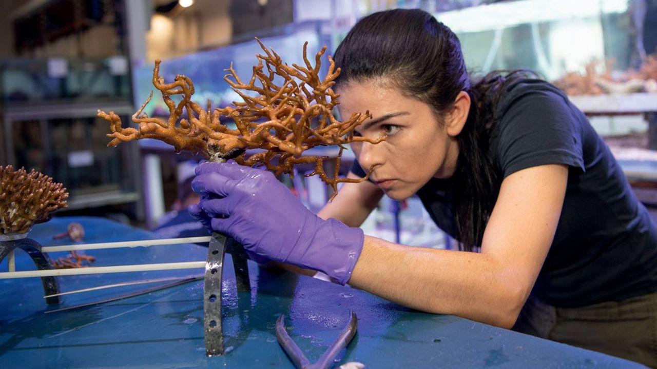 Le bouturage du corail est une technique parfaitement maîtrisée au Musée océanographique de Monaco.