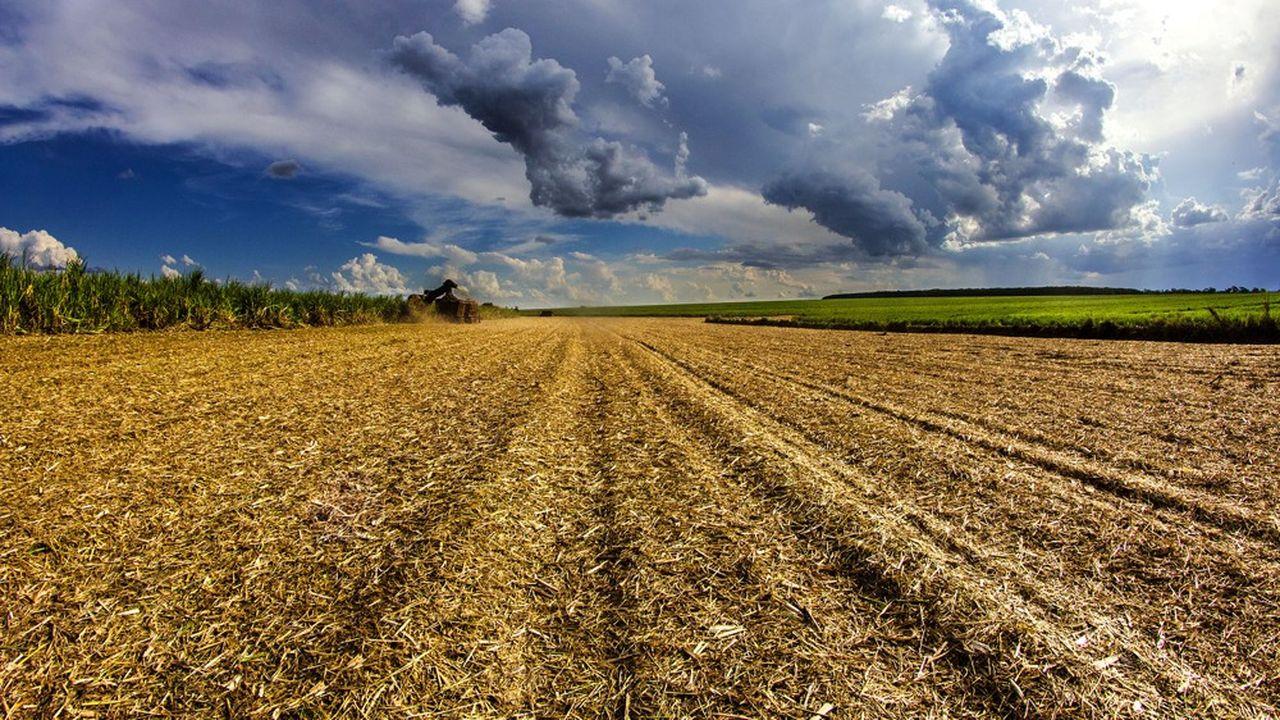 Au Brésil, 65 % de la canne à sucre sert à produire de l'éthanol.