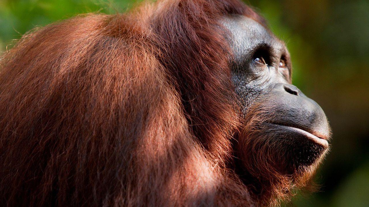 Les orangs-outans, parmi nos plus proches parents, pourraient contracter le nouveau coronavirus.