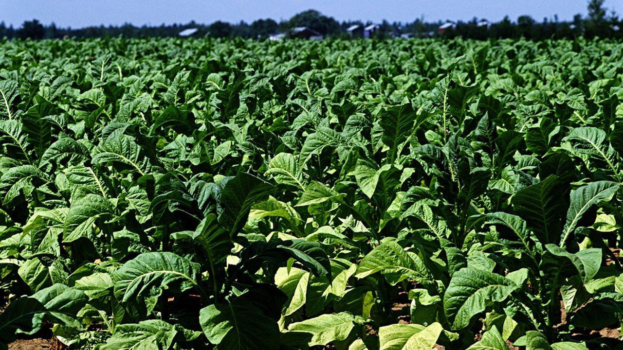 L'anticorps est injecté dans des feuilles de tabac, une méthode dont British American Tobacco assure qu'elle peut être plus efficace que les techniques traditionnelles.