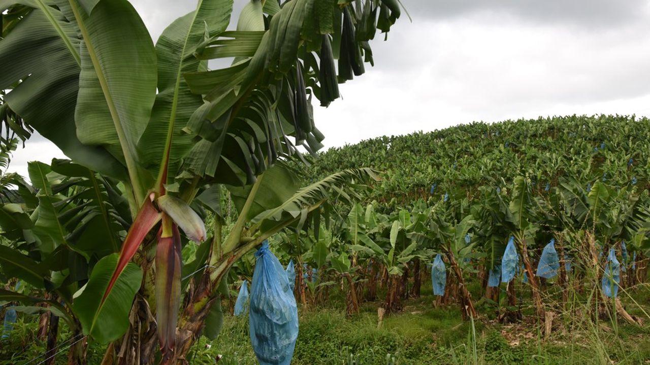 Plantation de bananes en Côte d'Ivoire.